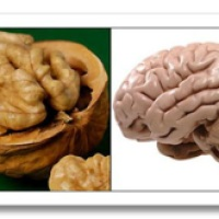 Walnuts - Food For A Healthy Brain