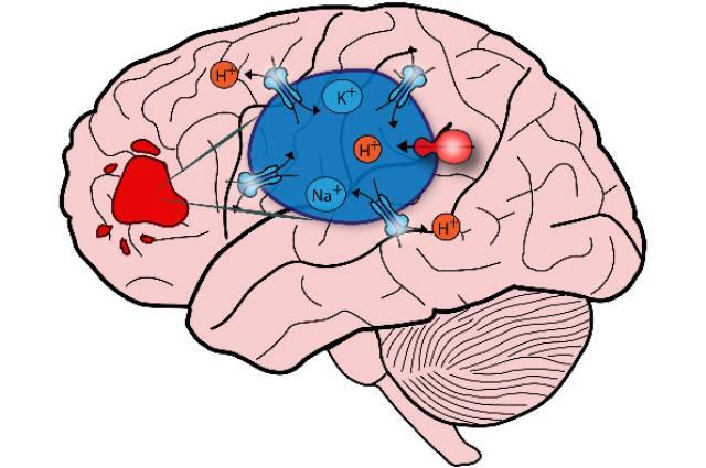 Fb9-1.15 brain sketch