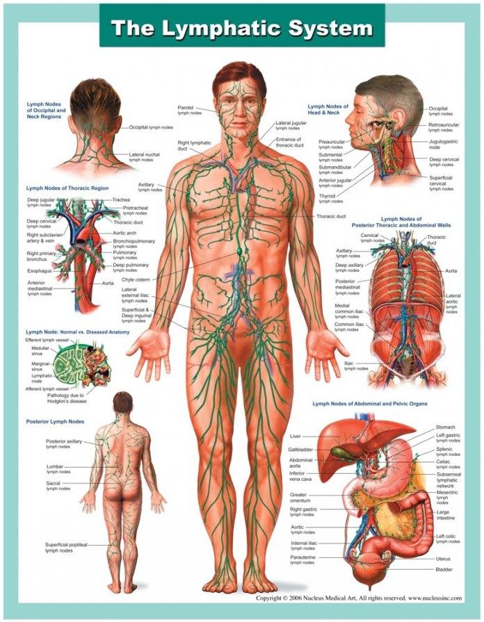 Lymph+System